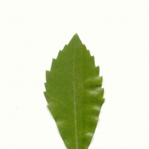 Photographie n°5603 du taxon Quercus ilex L. [1753]