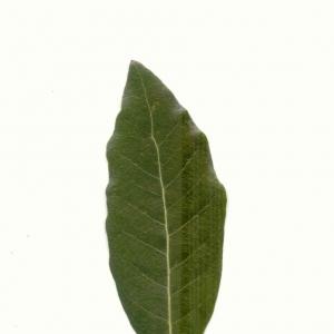Photographie n°5604 du taxon Quercus ilex L. [1753]