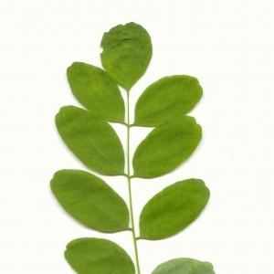 Photographie n°5605 du taxon Robinia pseudoacacia L.