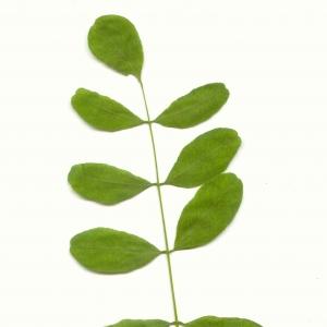 Photographie n°5606 du taxon Robinia pseudoacacia L.