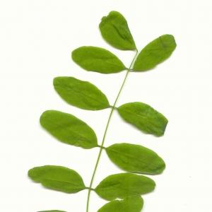 Photographie n°5607 du taxon Robinia pseudoacacia L.