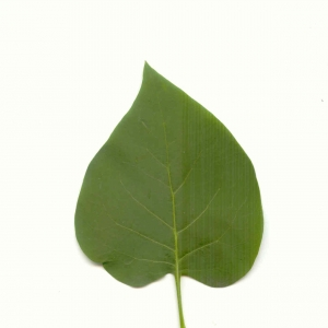Photographie n°5609 du taxon Syringa vulgaris L. [1753]