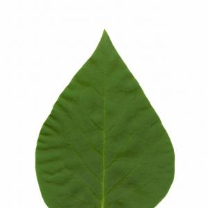 Photographie n°5627 du taxon Syringa vulgaris L. [1753]