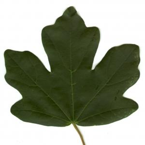 Photographie n°5630 du taxon Acer campestre L. [1753]