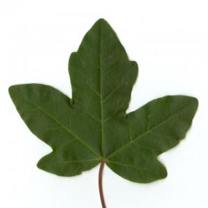 Photographie n°5632 du taxon Acer campestre L. [1753]