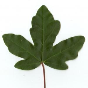Photographie n°5633 du taxon Acer campestre L. [1753]