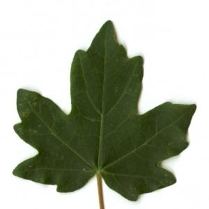Photographie n°5635 du taxon Acer campestre L. [1753]