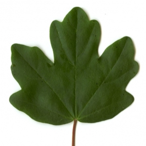 Photographie n°5636 du taxon Acer campestre L. [1753]