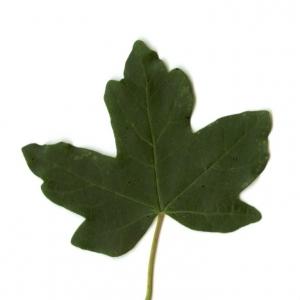 Photographie n°5637 du taxon Acer campestre L. [1753]