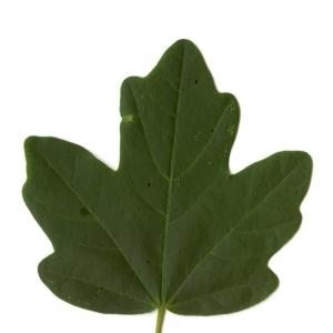 Photographie n°5638 du taxon Acer campestre L. [1753]