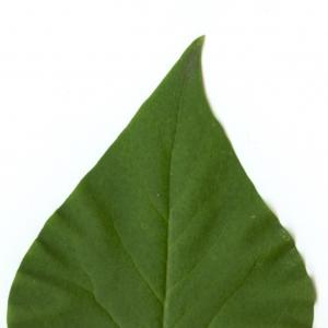Photographie n°5640 du taxon Syringa vulgaris L. [1753]