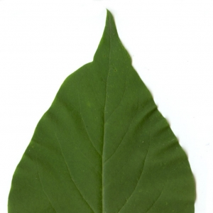 Photographie n°5641 du taxon Syringa vulgaris L. [1753]