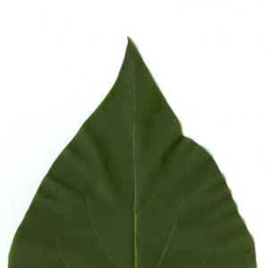 Photographie n°5642 du taxon Syringa vulgaris L. [1753]