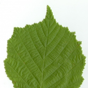Photographie n°5646 du taxon Corylus avellana L. [1753]