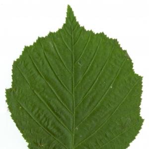 Photographie n°5648 du taxon Corylus avellana L. [1753]