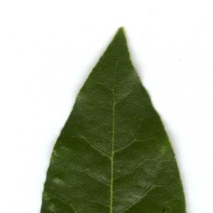 Photographie n°5698 du taxon Laurus nobilis L. [1753]