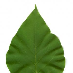 Photographie n°5699 du taxon Syringa vulgaris L. [1753]