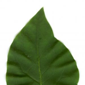 Photographie n°5700 du taxon Syringa vulgaris L. [1753]