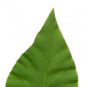 Photographie n°5704 du taxon Syringa vulgaris L. [1753]