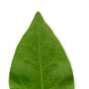 Photographie n°5705 du taxon Ligustrum vulgare L. [1753]