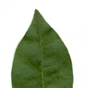 Photographie n°5706 du taxon Ligustrum vulgare L. [1753]