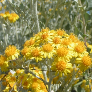Photographie n°5708 du taxon Senecio cineraria DC.