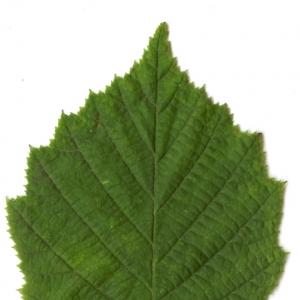 Photographie n°5715 du taxon Corylus avellana L. [1753]
