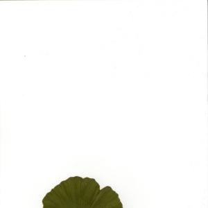 Photographie n°5790 du taxon Ginkgo biloba L. [1771]