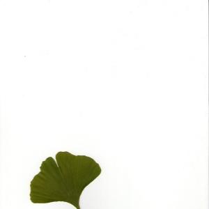 Photographie n°5791 du taxon Ginkgo biloba L. [1771]