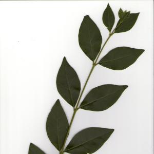 - Ligustrum ovalifolium Hassk. [1844]