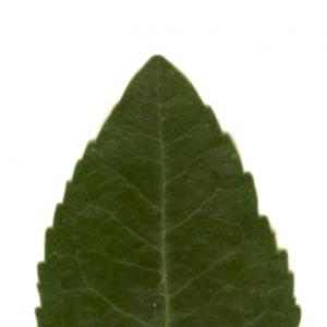 Photographie n°6105 du taxon Arbutus unedo L.