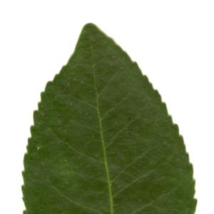 Photographie n°6106 du taxon Arbutus unedo L.