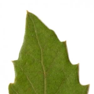 Photographie n°6107 du taxon Quercus ilex L. [1753]