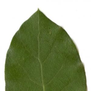 Photographie n°6108 du taxon Quercus ilex L. [1753]