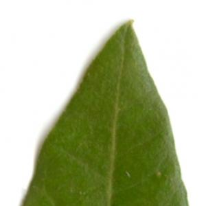 Photographie n°6109 du taxon Quercus ilex L. [1753]