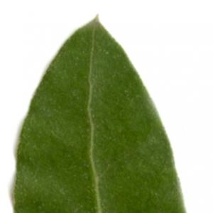 Photographie n°6110 du taxon Quercus ilex L. [1753]