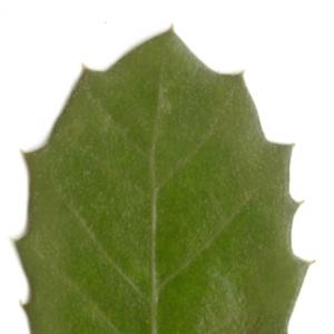 Photographie n°6111 du taxon Quercus ilex L. [1753]
