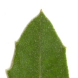 Photographie n°6113 du taxon Quercus ilex L. [1753]