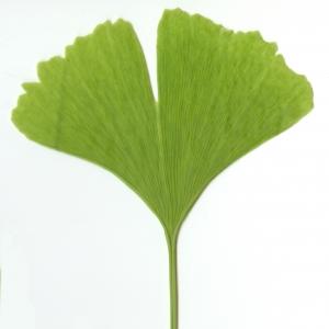 Photographie n°6115 du taxon Ginkgo biloba L. [1771]