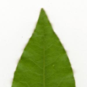 Photographie n°6128 du taxon Laurus nobilis L. [1753]