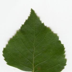 Photographie n°6141 du taxon Betula pendula Roth [1788]