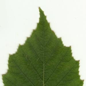 Photographie n°6142 du taxon Betula pendula Roth [1788]