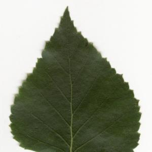 Photographie n°6143 du taxon Betula pendula Roth [1788]