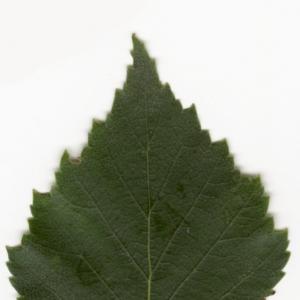 Photographie n°6144 du taxon Betula pendula Roth [1788]