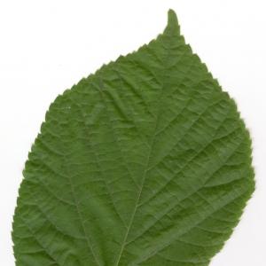 Photographie n°6145 du taxon Tilia x europaea L. [1753]