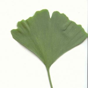 Photographie n°6229 du taxon Ginkgo biloba L. [1771]