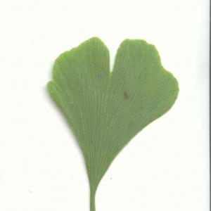 Photographie n°6231 du taxon Ginkgo biloba L. [1771]