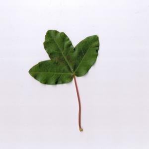 Photographie n°6235 du taxon Acer monspessulanum L.