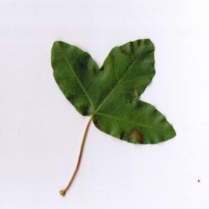 Photographie n°6237 du taxon Acer monspessulanum L. [1753]