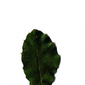 Photographie n°6246 du taxon Quercus suber L. [1753]